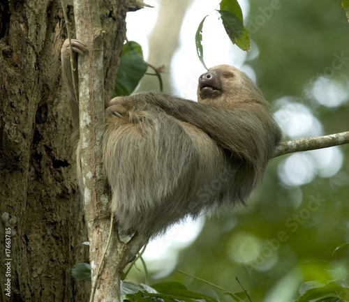 sleeping two toe sloth in tree, costa rica