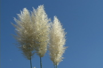 Pampas Grass Blowing In The Wind