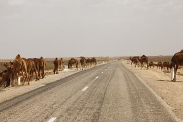 Dromedar Herde auf den Straßen Tunesiens