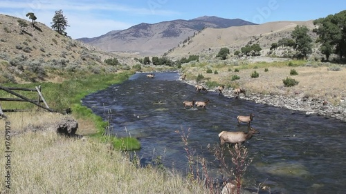 Elk Herd Drinking from Yellowstone River