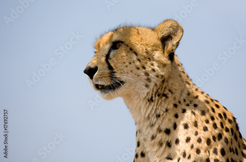 Head of a cheetah against the blue sky in South Africa
