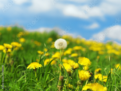 Blossoming Dandelions in Meadow-32