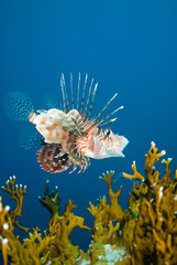 A Common lionfish (Pterois miles)