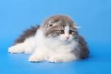Fluffy kitten poster