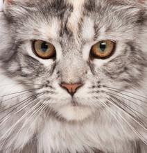 Maine Coon-close-up Porträt