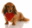 miniature dachshund dog wearing red bandanna around neck