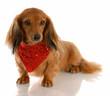 miniature dachshund dog wearing red bandanna around neck
