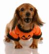 miniature dachshund wearing pumpkin sweater
