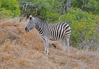 Zebra grazing in South Africa