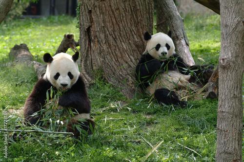 Foto op Canvas Panda Giant pandas in a field