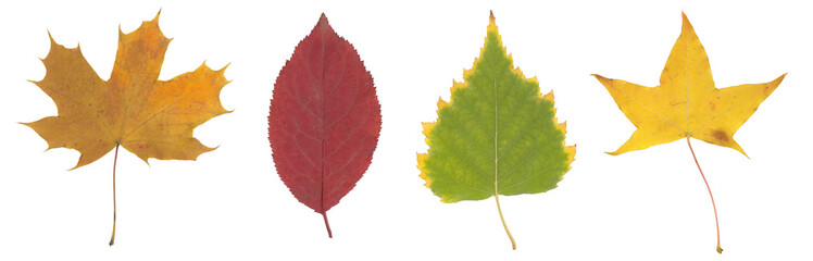 High resolution yellow, green and brown autumn leaf