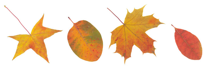 High resolution red yellow and brown autumn leaf isolated