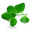 herb green mint