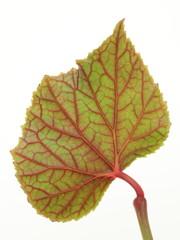 Begonia evansiana 'Alba'