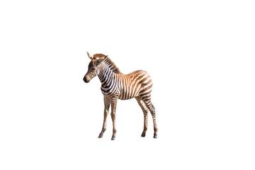 Piccolo di zebra