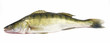 Walleye zander fish