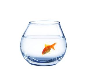 gold fish in spherical aquarium
