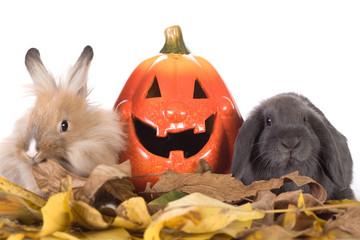 two rabbit and a halloween pumpkins