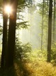 Sunlight falls into the misty woods in the springtime