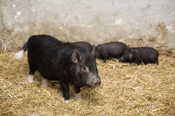 black pig and piglets in the farm