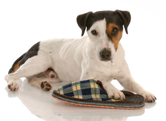 playful dog - jack russel terrier with favorite slipper