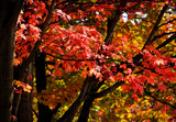 Red leaves on maple tree in autumn