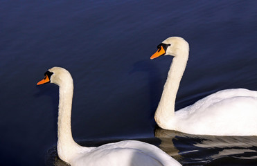 Two adult mute swans on a blue lake