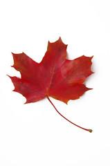 Ahornblatt rot
