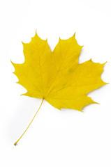 Ahornblatt gelb