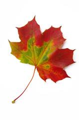 Ahornblatt rot-grün