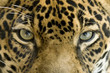 close up the eyes of a beautiful jaguar or panthera onca
