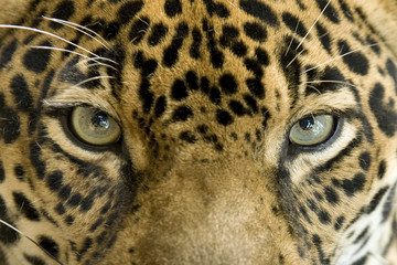 close up the eyes of a beautiful jaguar or panthera onca