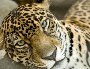 jaguar or panthera onca looking menacingly at camera