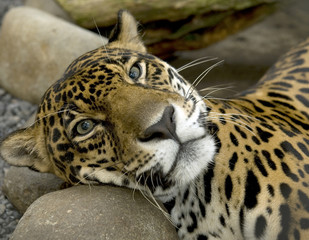 magnificent jaguar or panthera onca resting on rock