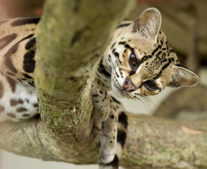 curious margay cat or caucel looking at camera over tree