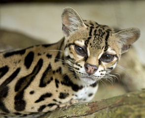 beautiful margay cat or caucel  sitting in tree, costa rica