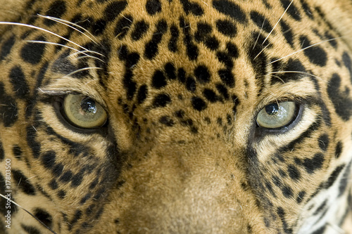 Canvas Luipaard close up the eyes of a beautiful jaguar or panthera onca