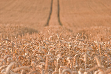Golden wheat field #2