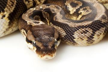inferno ball python