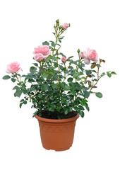 rosier en conteneur fleuri