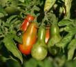 punaise et grappe de tomates poires