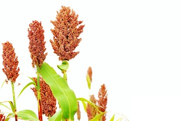 Ripe red sorghum isolated on the white background.