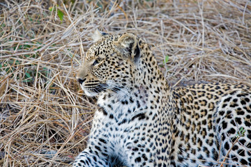 Leopard sitting int he grass