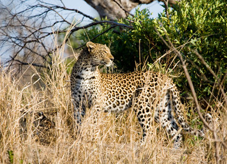 Leopard watching for its prey