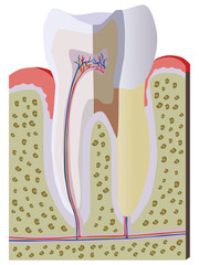 Vector anatomy of a tooth
