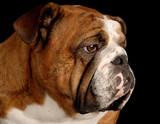 red brindle english bulldog portrait on black background poster