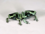 pair green and black or dendrobates auratus poison dart frogs poster
