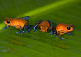 strawberry or blue jeans poison dart frogs , dendrobates pumilio poster