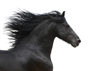 Portrait d'un cheval galopant frison sur fond blanc