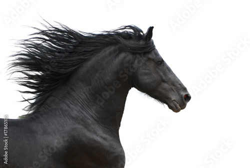 Keuken foto achterwand Paarden Portrait of galloping frisian horse on white background